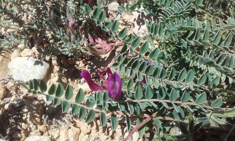 Astragalus monspessulanus - astragale de Montpellier Rps20348