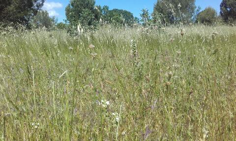 Bartsia trixago - bartsie  Rps20349
