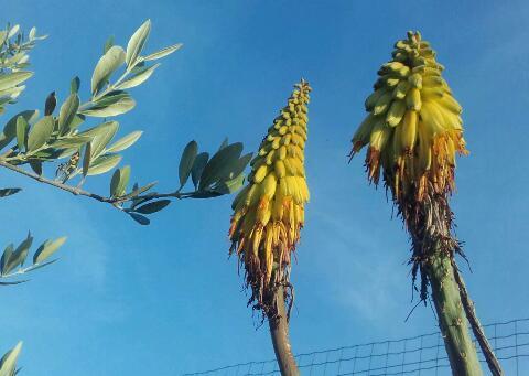 Aloe striatula Rps20355
