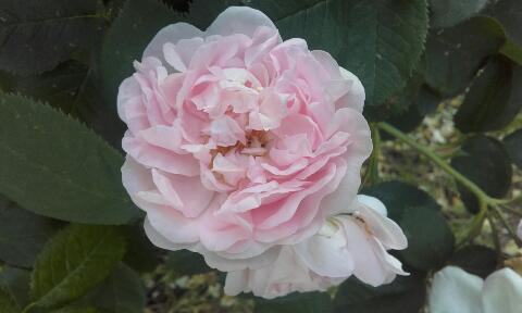 tous ces rosiers que l'on aime - floraisons - Page 2 Rps20356