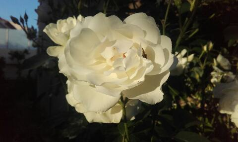 tous ces rosiers que l'on aime - floraisons - Page 2 Rps20357