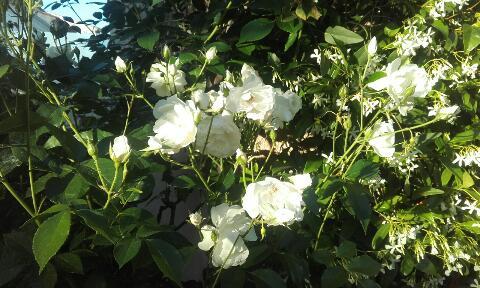 tous ces rosiers que l'on aime - floraisons - Page 2 Rps20358