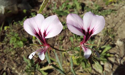 Pelargonium tetragonum - Page 2 Rps20369