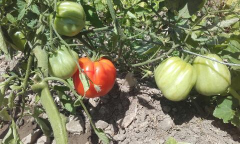 Solanum lycopersicum - les tomates - Page 6 Rps20377