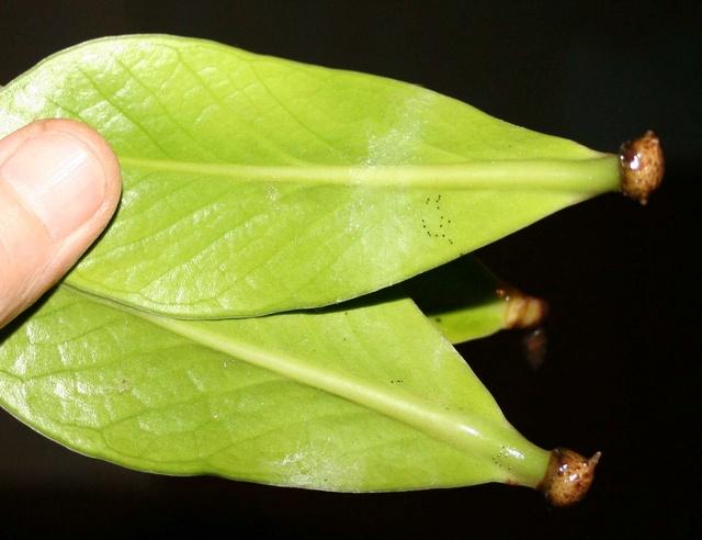 Zamioculcas zamiifolia (= Zamioculcas loddigesii) - Page 2 Img_1214