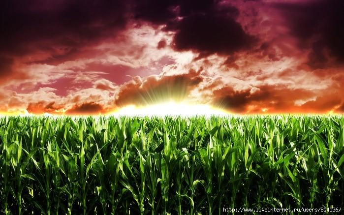 Кукурузное поле - Страница 5 Ddedza10