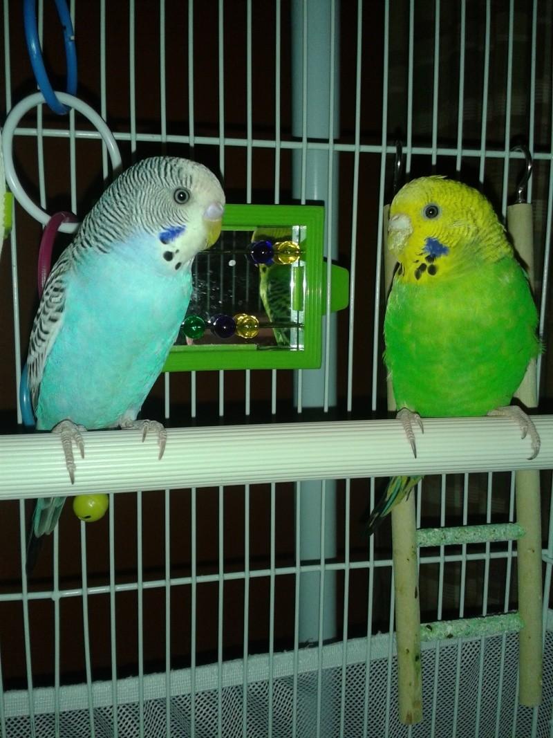 idée des sexes et des âges de mes oiseaux? 20140218