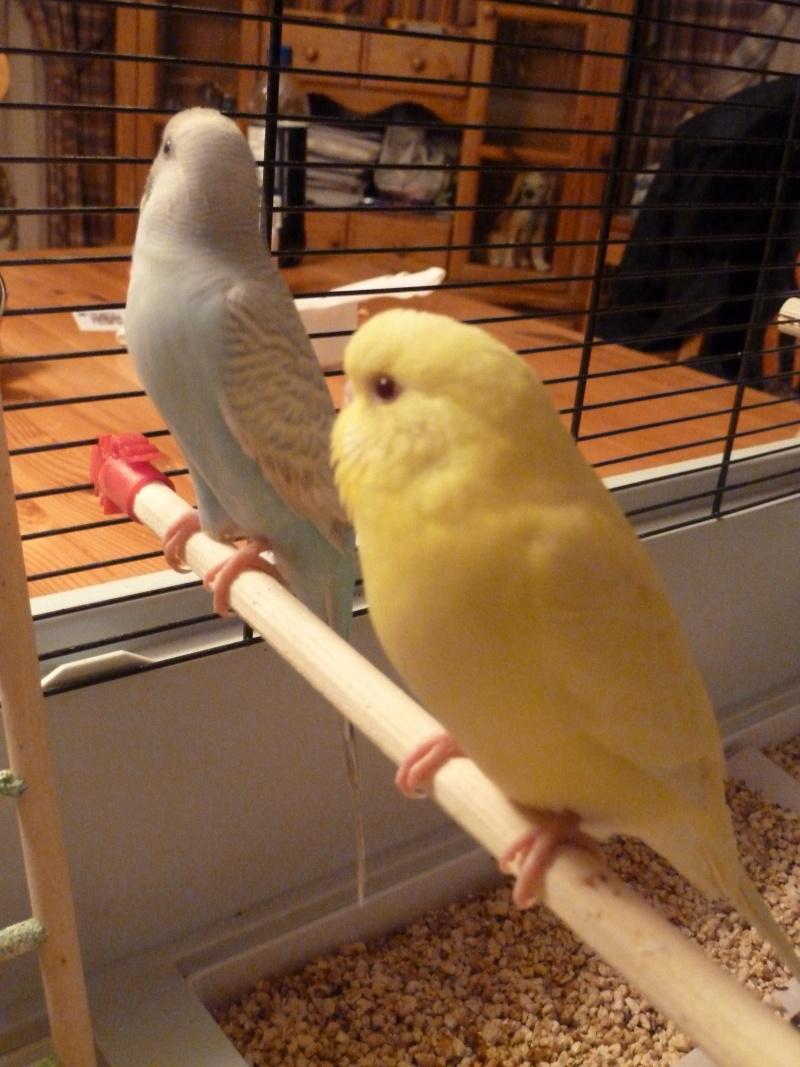 idée des sexes et des âges de mes oiseaux? P1140718