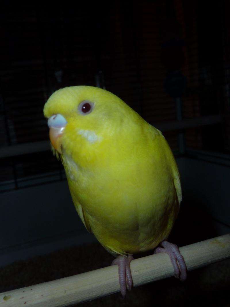 idée des sexes et des âges de mes oiseaux? P1140722