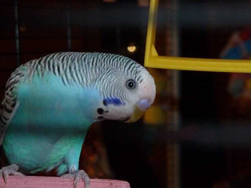 idée des sexes et des âges de mes oiseaux? P1140811