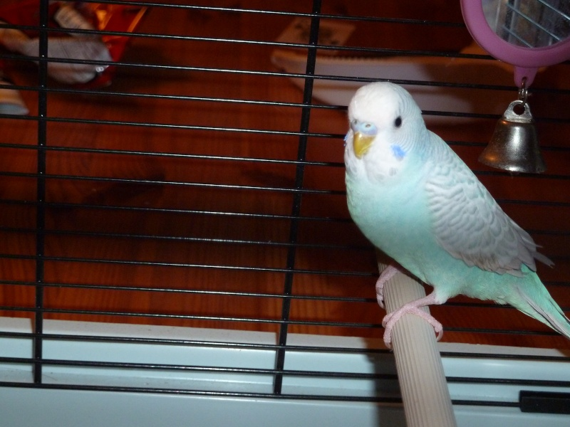 idée des sexes et des âges de mes oiseaux? P1140815