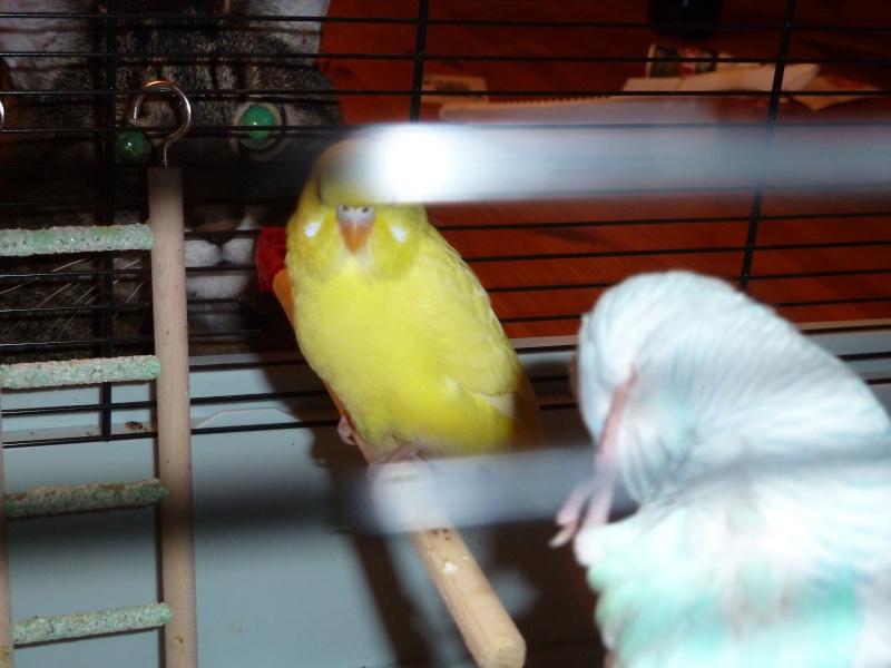 idée des sexes et des âges de mes oiseaux? P1140816
