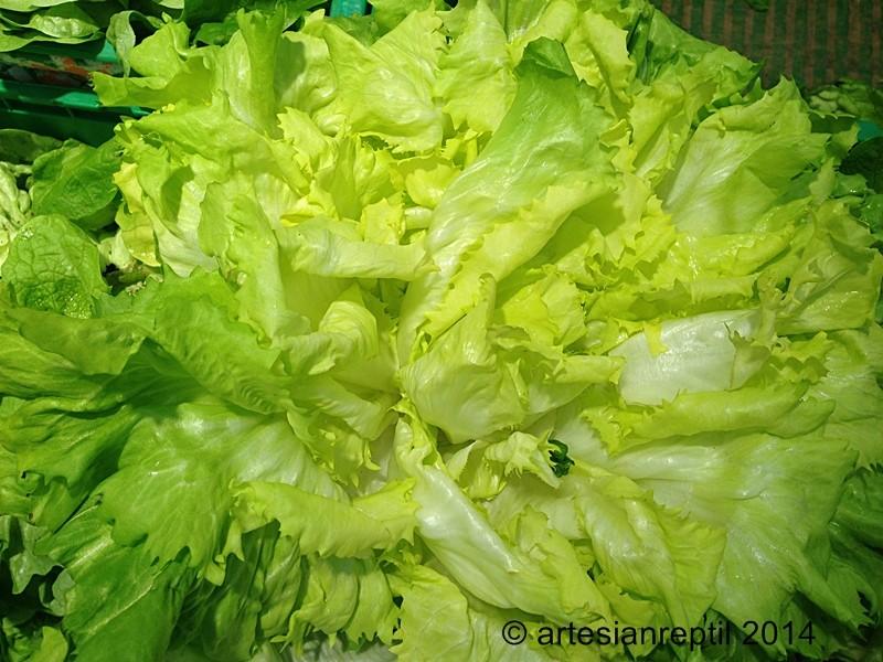 Plantes cultivées comestibles pour lézards et tortues Scarol10