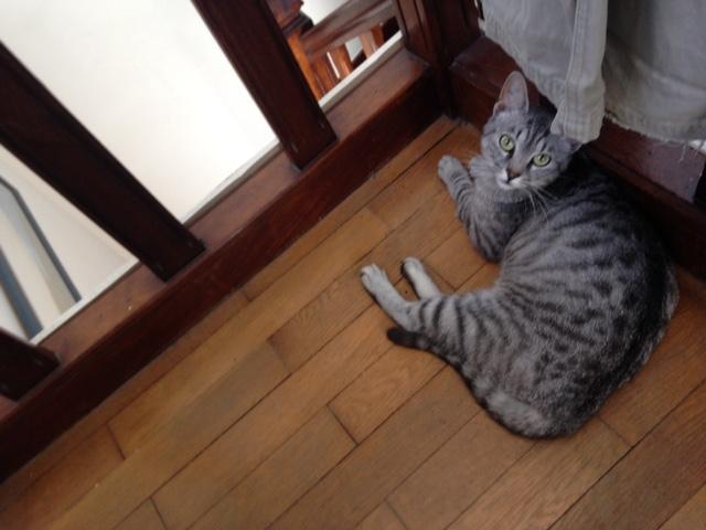 mamzelle - MAMZELLE, jolie petite minette à la robe tigrée/argentée, née le 17/09/16 Image110