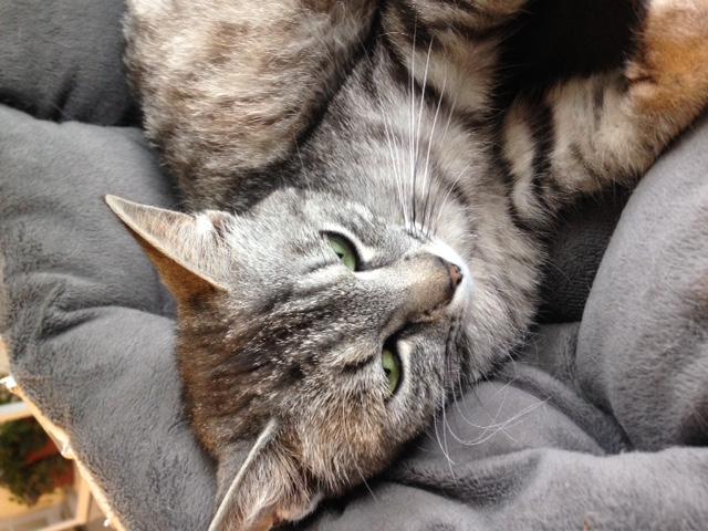 mamzelle - MAMZELLE, jolie petite minette à la robe tigrée/argentée, née le 17/09/16 Image410
