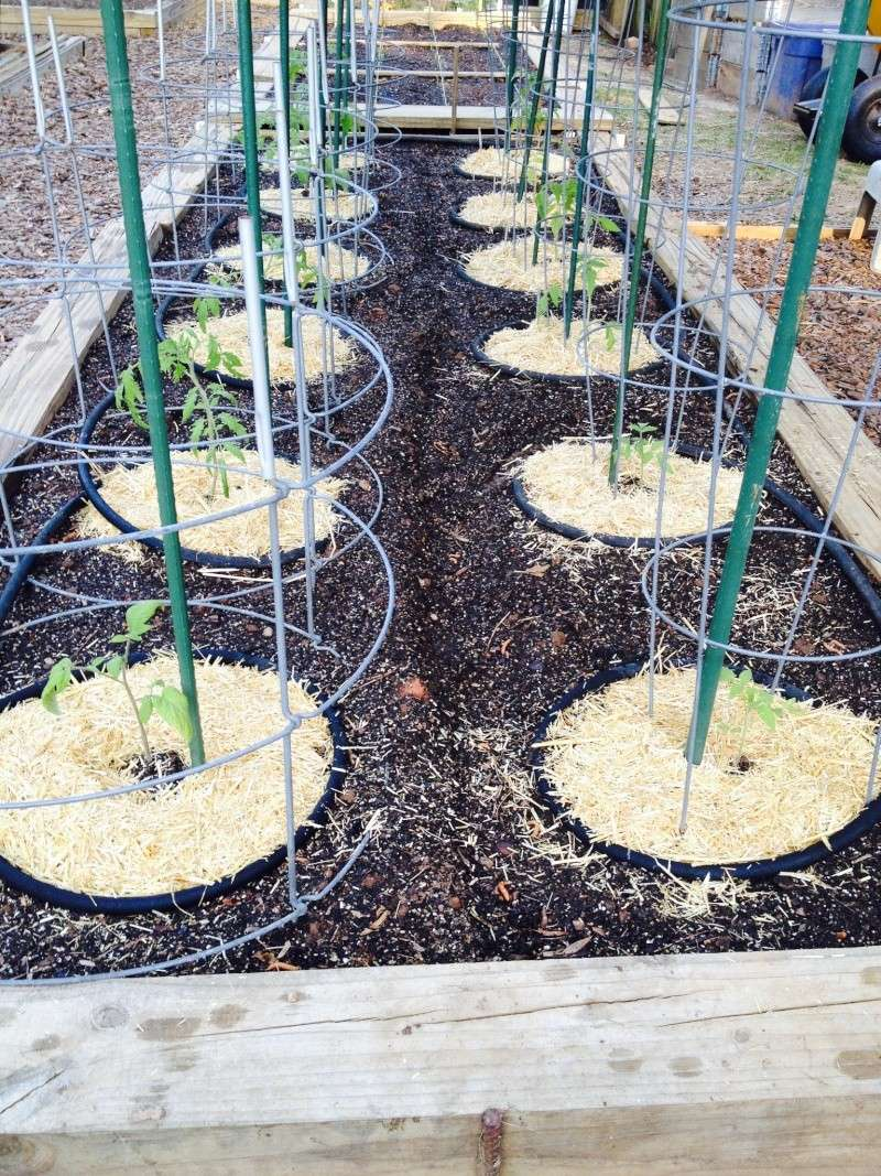 2014 SFG in Brooks, GA  - Page 2 Tomato11