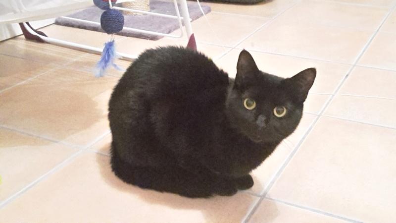 Trouvée chatte noire à Colomiers 20170314