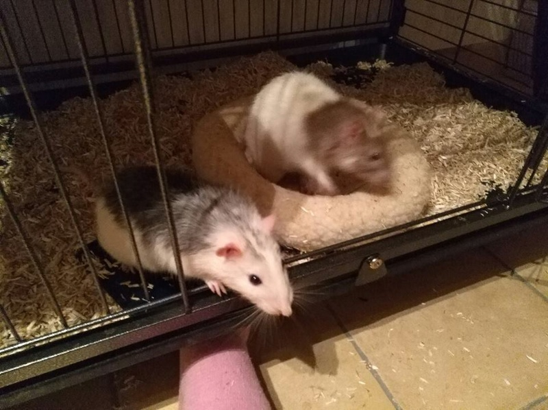mes amours Rats_410