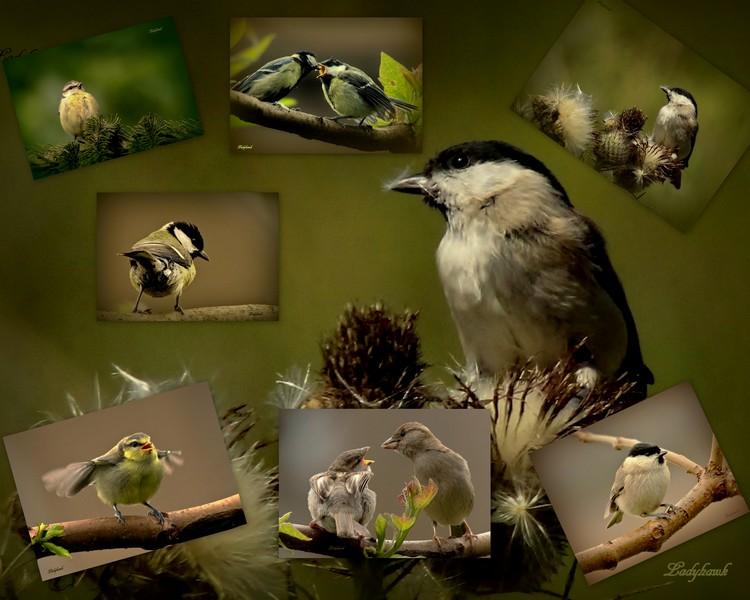 mes oiseaux du jardin Oiseau10
