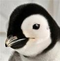 Un Pinguins à l'eau !! \o/ Images10