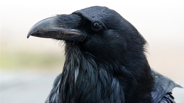 Est ce bien un Corbeau ? 11120210