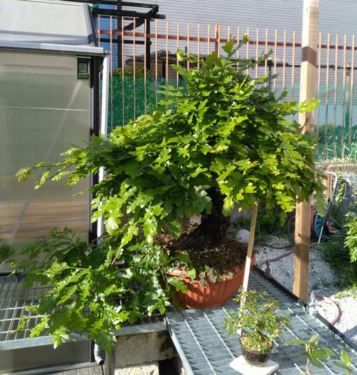 Quercus cerris - Pagina 6 19-04-10