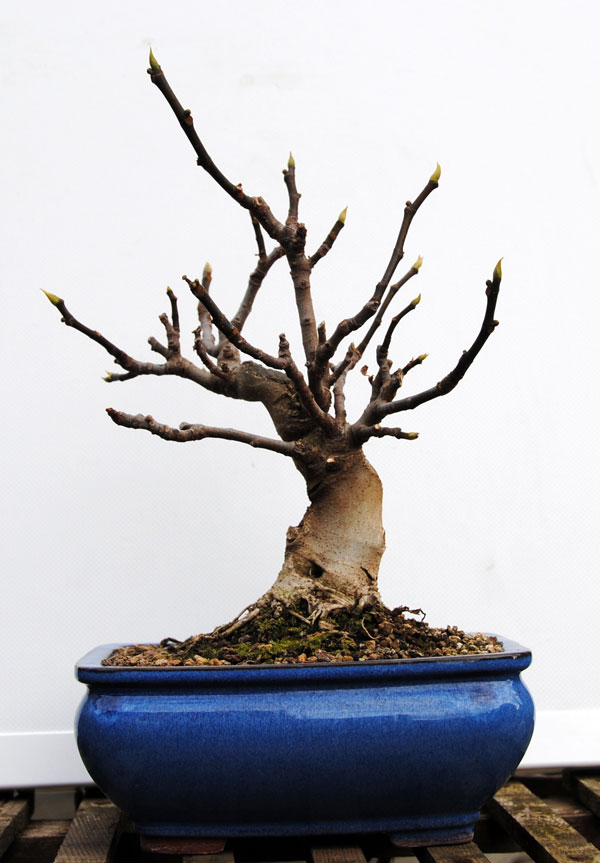 Ficus-Carica 20101110
