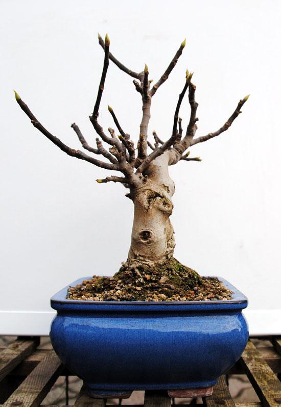 Ficus-Carica 20101111