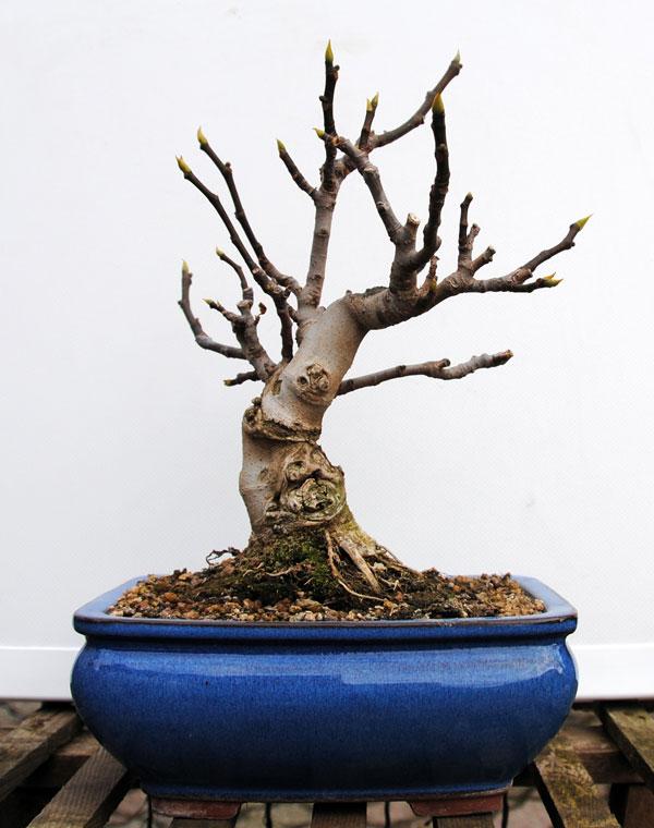 Ficus-Carica 20101112