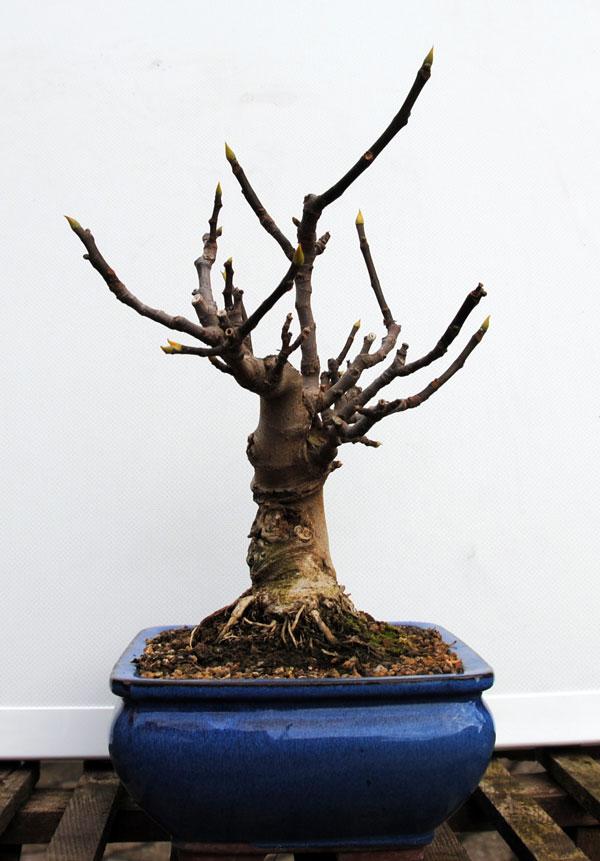 Ficus-Carica 20101113