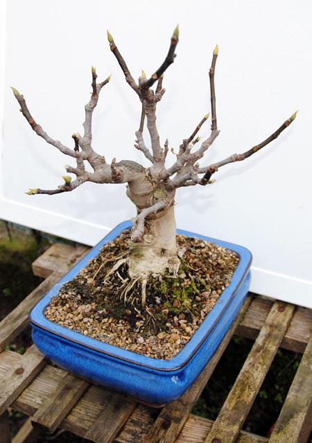 Ficus-Carica 20101114