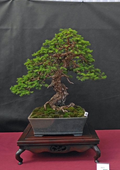 Oltre Il Verde - Bonsai Competition 6 Abete-11