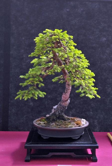 Oltre Il Verde - Bonsai Competition 6 Abete10