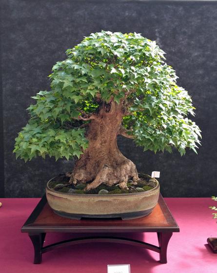 Oltre Il Verde - Bonsai Competition 6 Acero-10