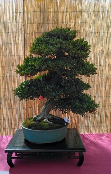 Oltre Il Verde - Bonsai Competition 6 Azalea10