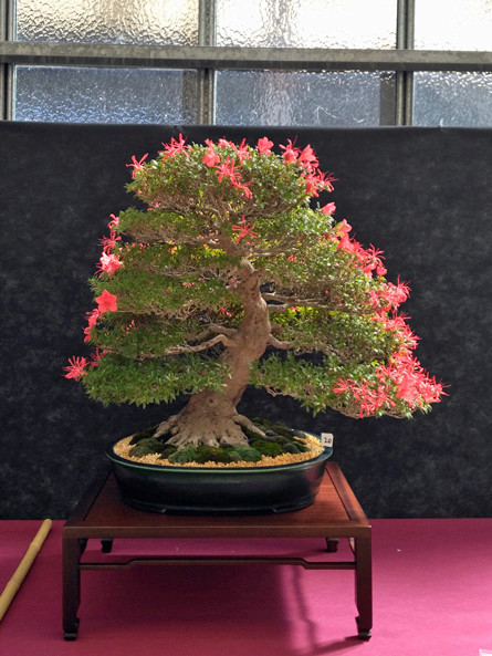 Oltre Il Verde - Bonsai Competition 6 Azalea11