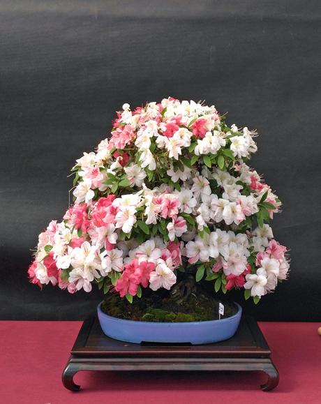 Oltre Il Verde - Bonsai Competition 6 Azalea12
