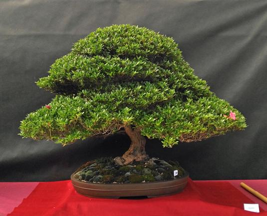 Oltre Il Verde - Bonsai Competition 6 Azalea13