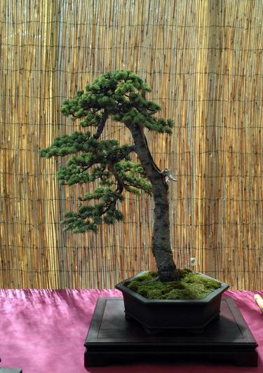 Oltre Il Verde - Bonsai Competition 6 Cedro10
