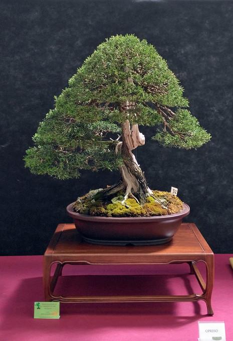 Oltre Il Verde - Bonsai Competition 6 Cipres11