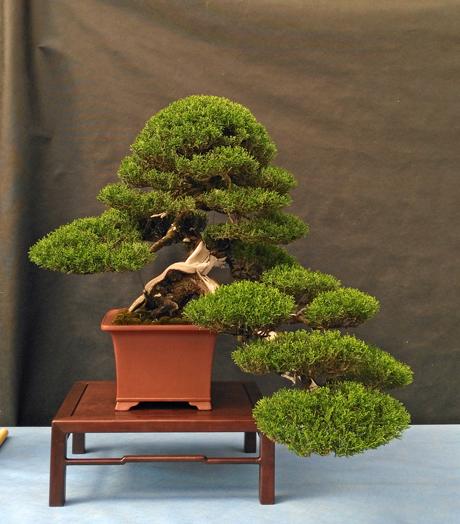 Oltre Il Verde - Bonsai Competition 6 Cipres13