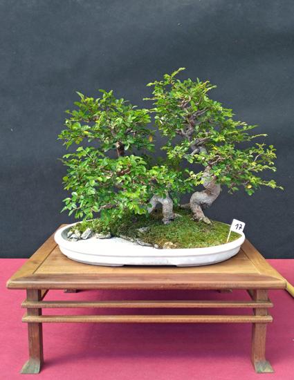 Oltre Il Verde - Bonsai Competition 6 Compos14