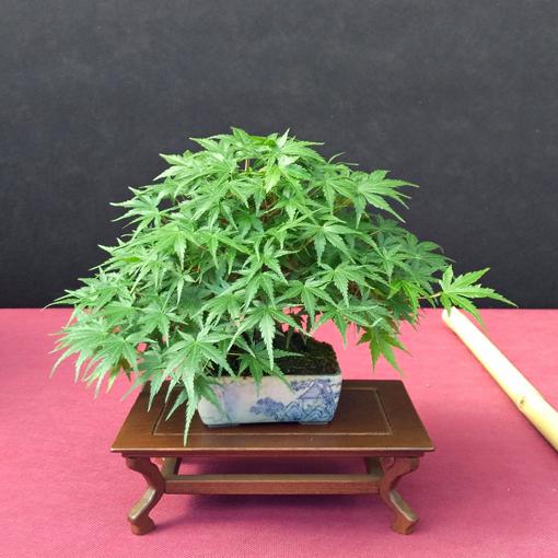 Oltre Il Verde - Bonsai Competition 6 Compos16