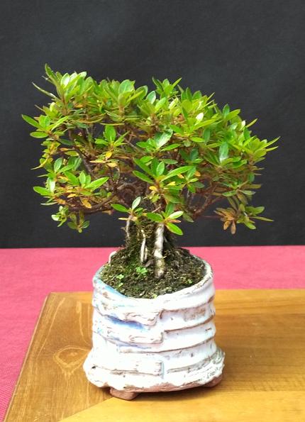 Oltre Il Verde - Bonsai Competition 6 Compos20