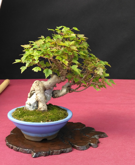 Oltre Il Verde - Bonsai Competition 6 Compos21