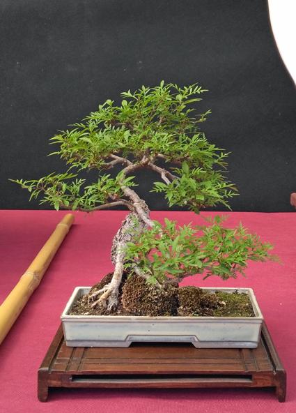 Oltre Il Verde - Bonsai Competition 6 Compos24