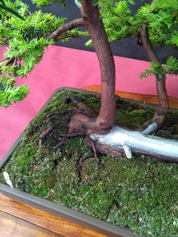 Oltre Il Verde - Bonsai Competition 6 Dettag10