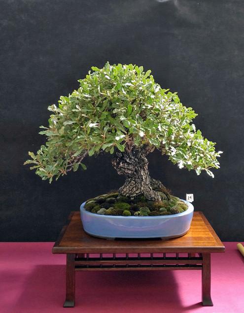 Oltre Il Verde - Bonsai Competition 6 Eleagn11