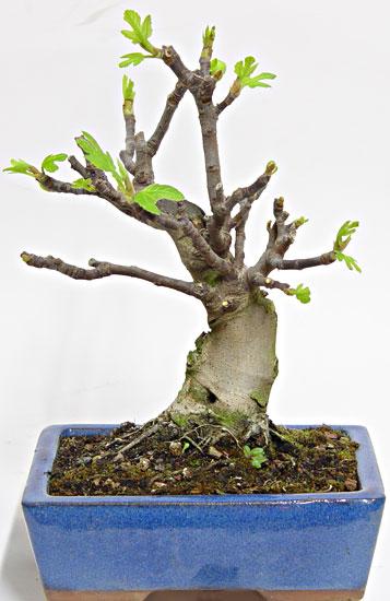 Ficus-Carica Ficus_10