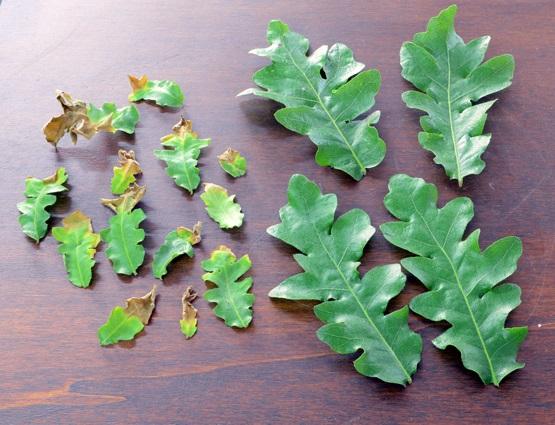 Quercus cerris - Pagina 6 Foglie10